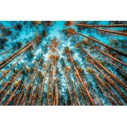 Fotomural pinos altos
