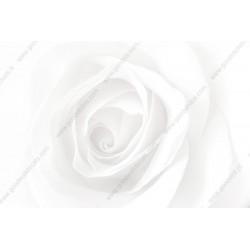 Fotomural rosa blanca