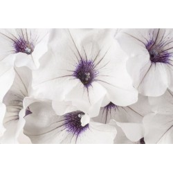 Fotomural flor anémona