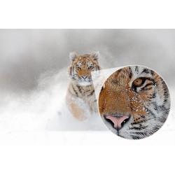 Fotomural tigre siberiano