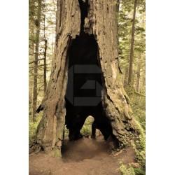 Fotomural de árbol hueco