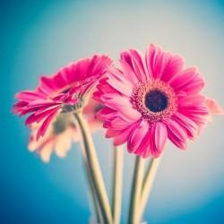 Fotomural gerberas rosas