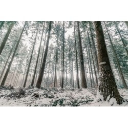 Mural en vinilo floresta de pinos